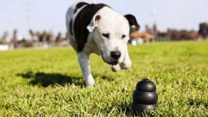 Dog playing with a Kong dog toy