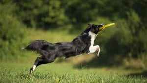 Dog playing with frisbee fetch toy