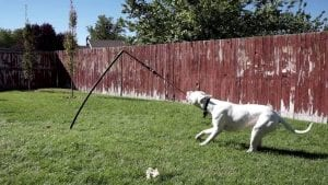 Dog playing with a tether tug